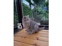 Part British shorthair x ragdoll kittens