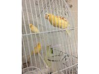 Canarys For Sale 1 for £25, pair for £45 No Cage