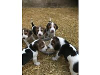 Tricolour beagle pups