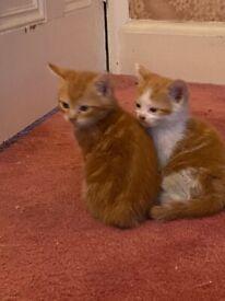 2 Kittens - Ginger and Ginger and White