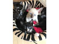 Beautiful Siamese x boys and girls