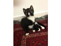A lovely female kitten of 10 weeks old is ready to be rehomed.