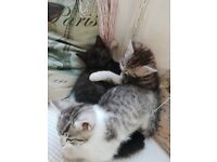 Kittens for sale/ 8 weeks ready to goTabby and white/Black kitten