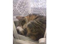 £175, 8 week old Siberian Tabby Kittens