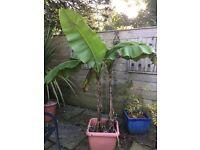 2 well established banana plants