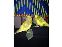Pair of beautiful young budgies mix colour