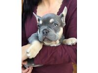 I have an amazing Atat lilac and tan male for sale
