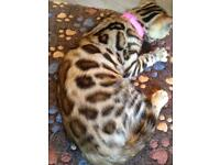 Bengal stunning female take home today