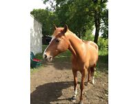 DRESSAGE SCHOOLMASTER FOR FULL/PART LOAN