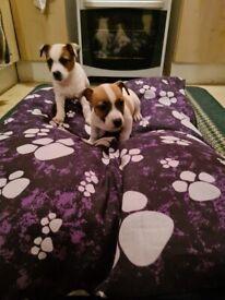 Miniture Jack Russell pups