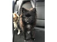 Miniature Pomeranian boy puppy
