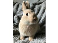 Lovely friendly Netherland Dwarf cross female rabbit