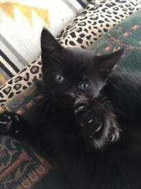 Black female kitten 9 weeks old