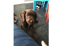 Chocolate brown 13 week old cocker spaniel pup