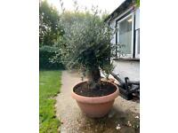 Olive tree. Circa 120 years old.