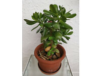 1 x Jade Money Lucky plant in Terracotta top