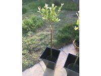 x 1 Salix Garden Tree With Pot
