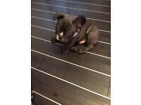 French bulldogs 4 sale