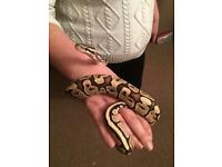 For sale - Beautiful Female Royal Python - Fire morph