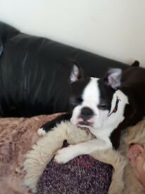 Beautifull female boston terrier. 5 month old . Kc registered microchipped flead and wormed