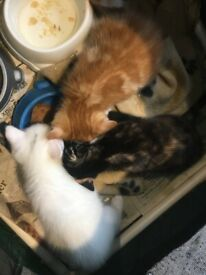 Half angora kittens ready now