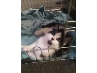 12 week old male kitten extremely playful and loving. Not fussy with food. Litterbox trained.