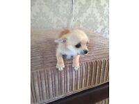 Chihuahua Puppy (Male)