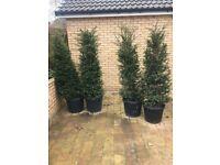 4 Yew trees