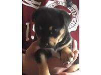 Female Black and Tan jack Russell cross labador puppy