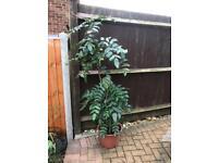 Mahonia plant