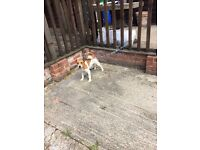 Jack Russell female 13 months old