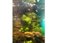 Guppies 1-2 months old. Tropical fish