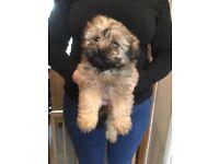 Shih Tzu X Poodle Girl Ready Now