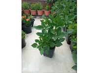 Dahlia plants at flowering stage