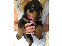 Rottweiler puppies for sale we only have one girl left