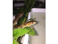 Northern water snake pair cb15