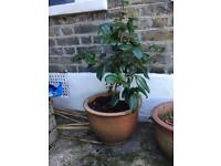 Camelia tree with pot