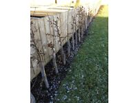 Hornbeam hedge 80-100cm bareroot incl Rabbit guards and canes