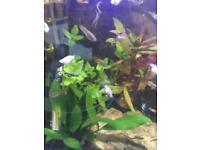Baby Mollies (tropical fish)