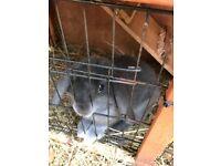 Mini lop x bunny and hutch