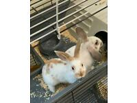 2 Bunnies (Sisters) available