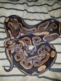 Cb13 royal python