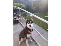 16mnth male husky for sale