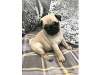 Kc Reg. Pug puppies