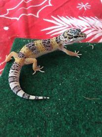 Juvenile Het Albino Leopard Gecko
