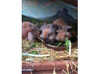 Rabbit for sale (lion head rabbit)