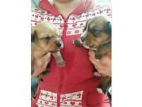 Yorkie/shitzu pups