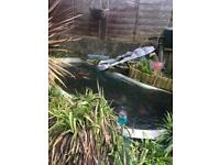 Pond fish rehoming offered