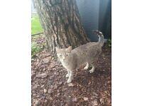 Tabby Feral Cat