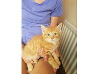 2 x Kitten For Sale - Swinton - £100 Each